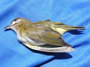 Red-eyed vireo accident victim