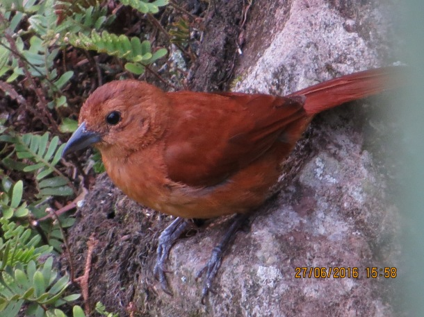 The female White-lined Tanager at nearby Santa Rosa, courtesy of John Beer