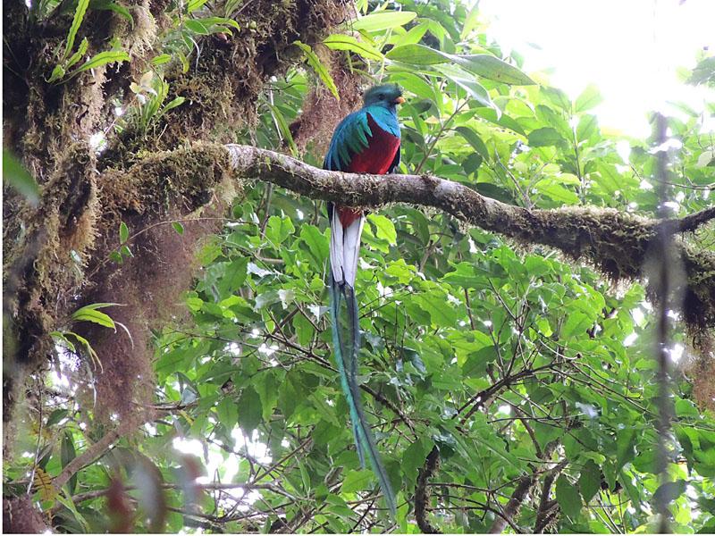 resplendent_quetzal_14_B