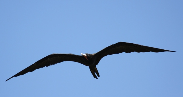 Magnificent frigatebird (2)
