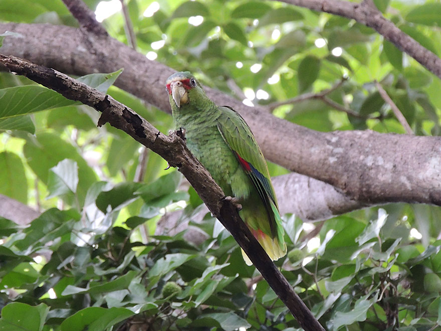 White-fronted parrot, a species found usually in Guanacaste