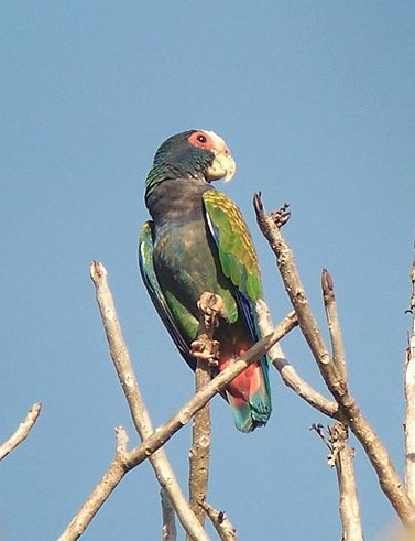 White-crowned parrot, our local species. Chucuyo!