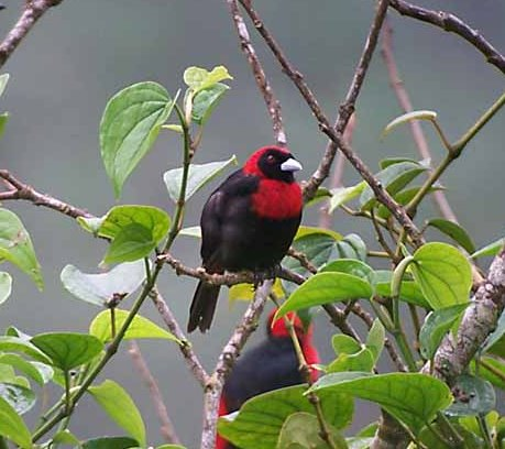 crimson-collared_tanager_1_Bcropped