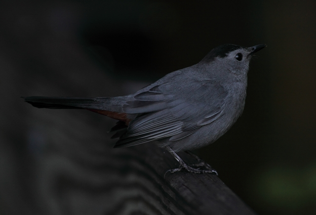 319 Gray catbird florida (13)