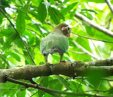 Brown-hooded parrot - looking for jocotes?
