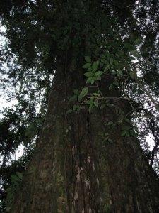 Giant ceiba