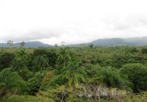 Pangola forest view
