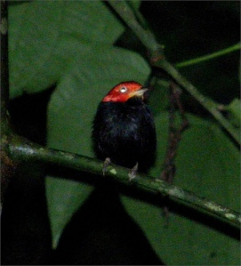 Red-capped manakin flickr