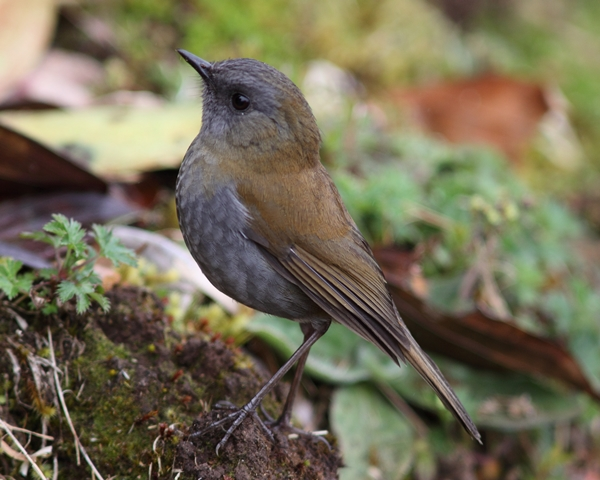 Even in its shady habitat, the Black-billed nightingale-thrush is a beauty