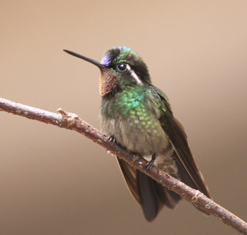 134 Purple-throated mountain-gem male (2)