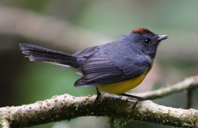 Slate-throated redstart - emblematic of the high country