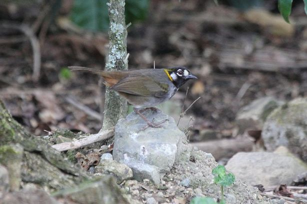 White-eared ground-sparrow - Courtesy of Dominic Sherony via Wikipedia Commons