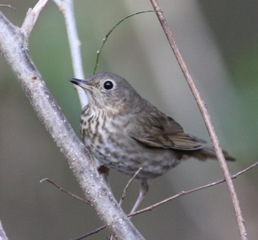 Swainson's thrush courtesy of Karel Straatman