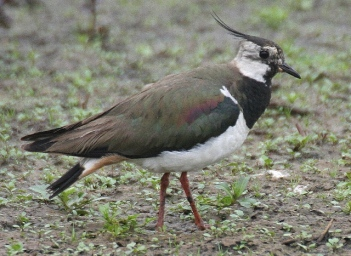 Here's another Lapwing, this time in Holland; photo courtesy of Karel Straatman