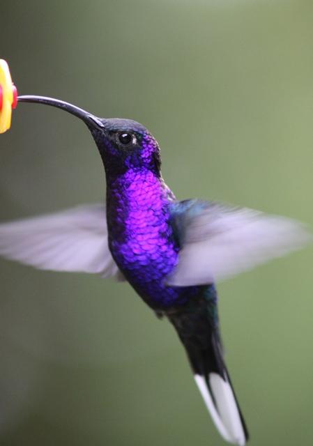 122 Violet sabrewing male (2)