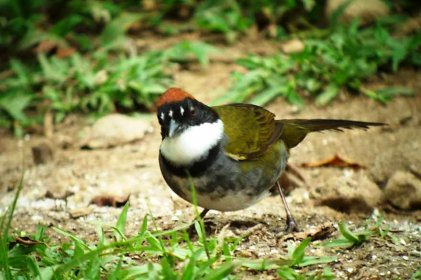 Chestnut-capped Brush-finch. Why is it not found in our village?