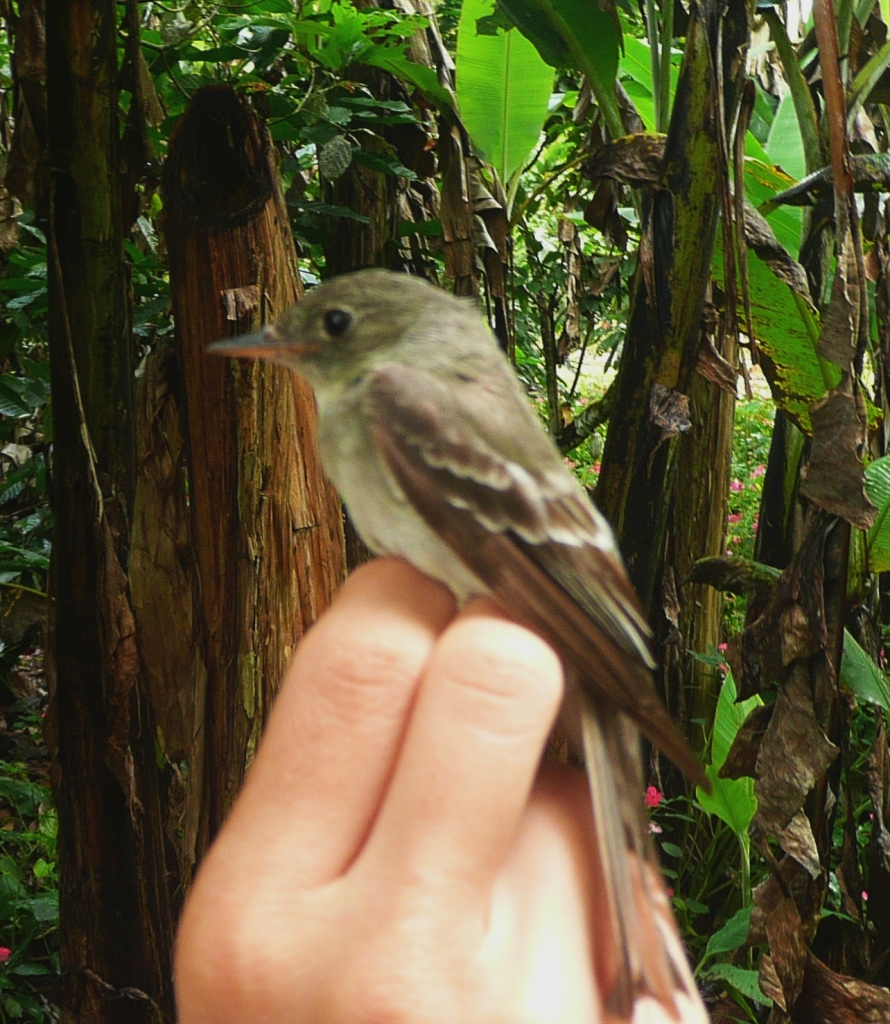 Eastern wood-pewee banded at CATIE, Turrialba