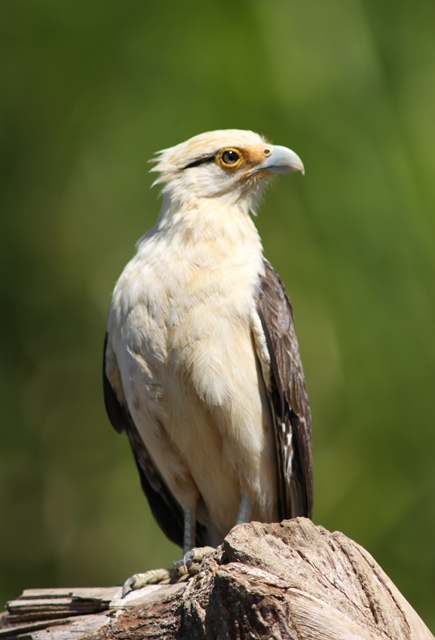 Yellow Headed Caracara At The Post Office In Turrialba Birds For