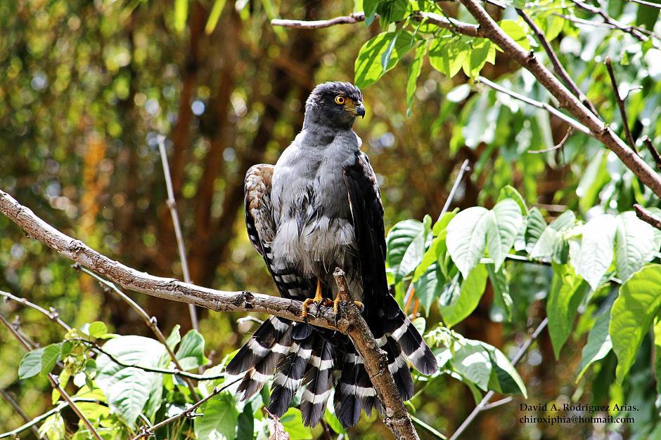 Accipiter_bicolor__