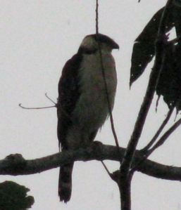 Collared forest-falcon?