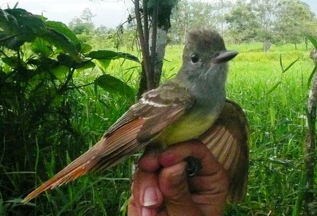 Myarchus flycatcher CATIE Turrialba