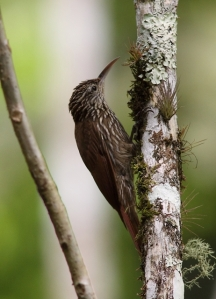 Streak-headed woodcreeper