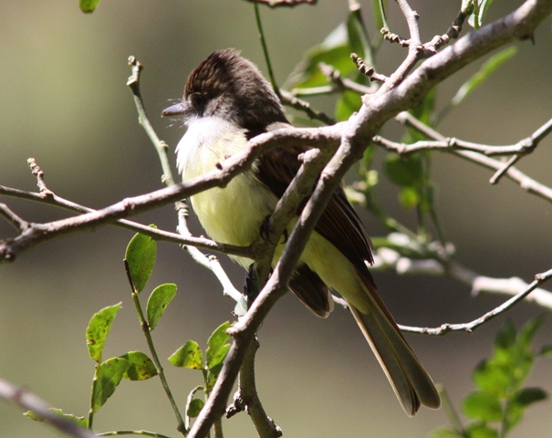 A welcome new visitor, the Dusky-capped flycatcher