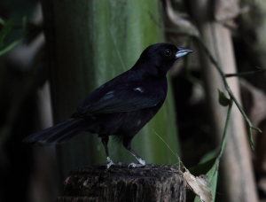 The all-black male White-lined tanager