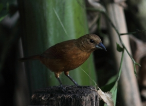 And the slightly rufous female