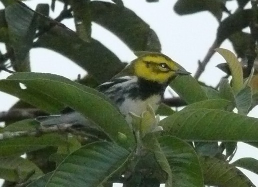 Male Black-throated green warbler with suspicious cheek patch.