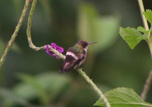 Female Black-crested coquette next to its favourite food
