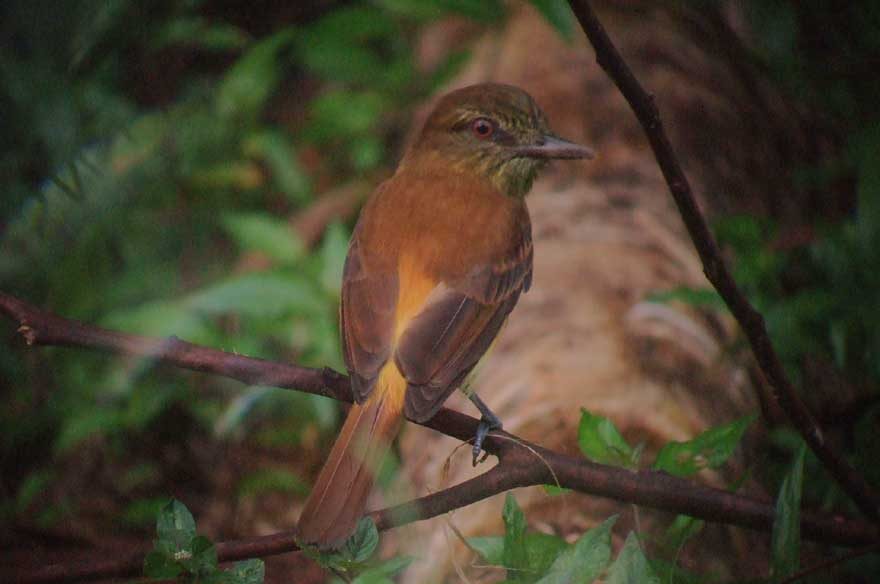 Bright-rumped attila, courtesy of Richard Garrigues