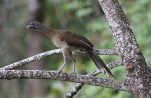Up in a tree or down on the ground - Gray-headed chachalaca