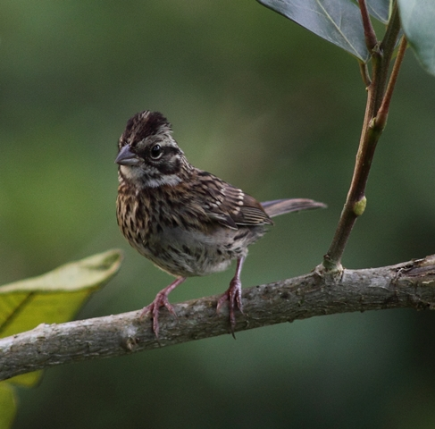 Juvenile Rufous-collared sparrow with crest raised