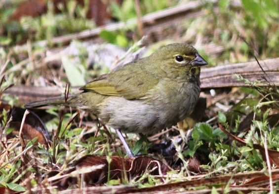 The dull female Yellow-faced grassquit