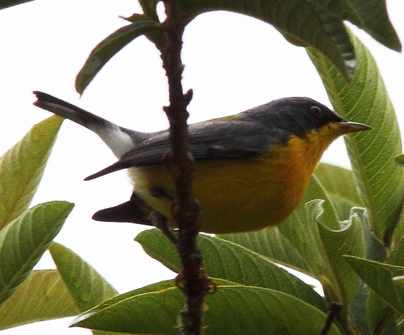 Tropical parula, courtesy of Karel Straatman