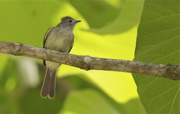Lesser elaenia, definitely, but no wing patch in this shot.