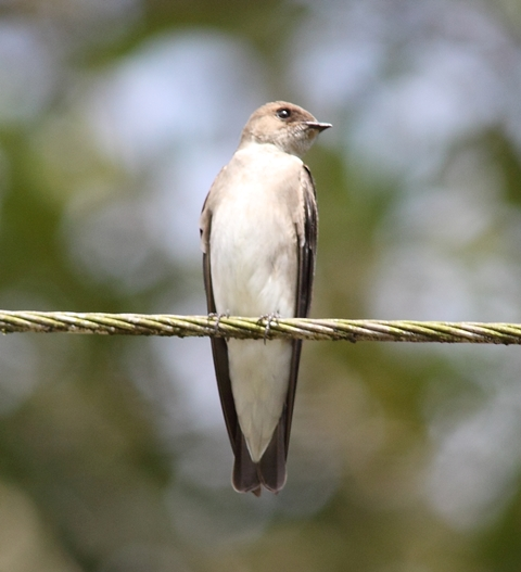 Northern rough-winged swallow shows its plain throat