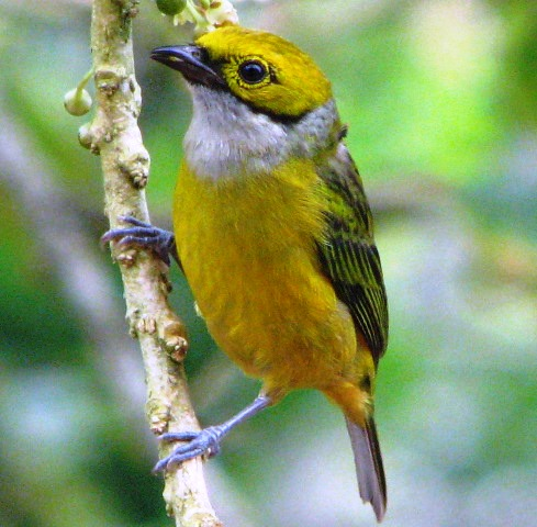 Silver-throated tanager, one of many beautiful Costa Rican tanagers