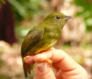 Juvenile White-collared manakin