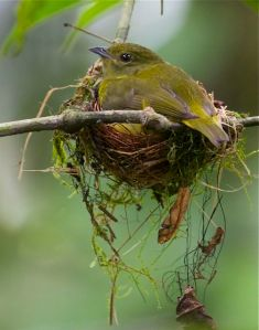 Female White-collared manakin