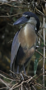 Boat-billed heron at CATIE, Turrialba
