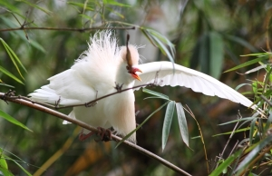 A nesting Cattle egret who seems rather ticked off.
