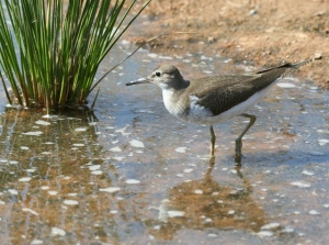 Common sandpiper in breeding plumage
