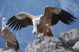 "Griffon vultures at the ""curée"""