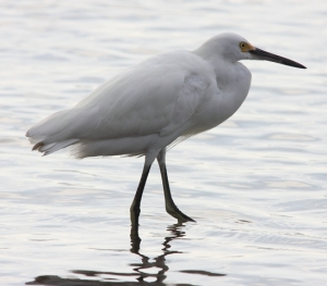 Our Snowy egret, but with yellow feet immersed!