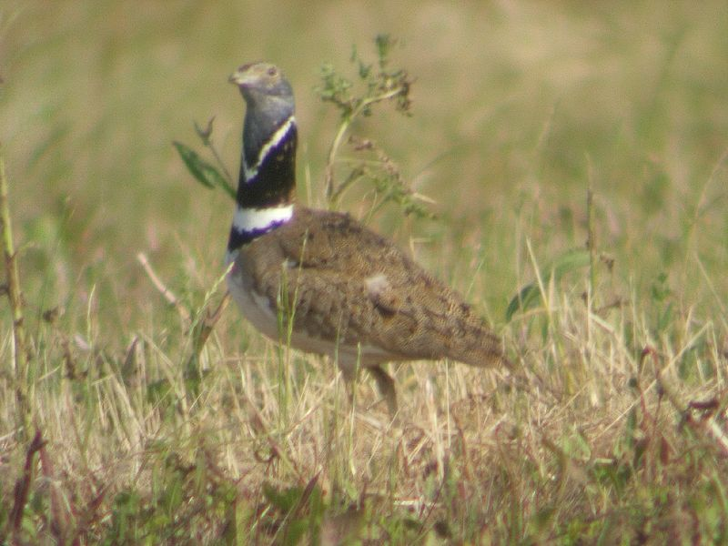 Male Little Bustard