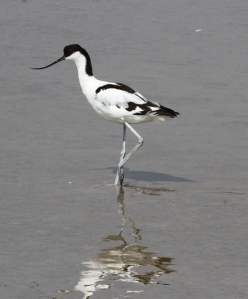 Avocet at the Camargue