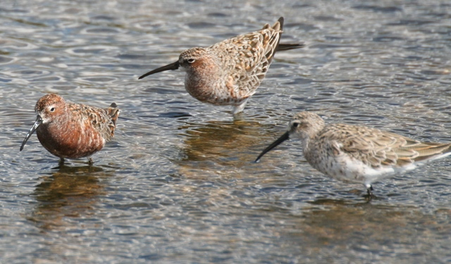 Curlew sandpipers
