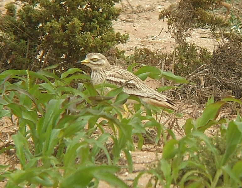 Stone curlew, with its big eye